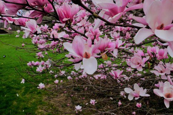 magnolia+close